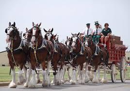 Budweiser Clydesdale Barn Budweiser Clydesdale Horses Meet The Last Foal Of 2017