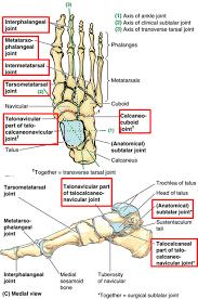 Foot Ligament Anatomy 1 10 Foot Anatomy Anatomy Flashcards Memorang