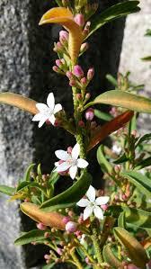 the most poisonous plants in australia hipages com au 638 best flowers landscapes images on pinterest native plants