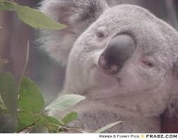 Koala Meme Generator - high koala meme generator
