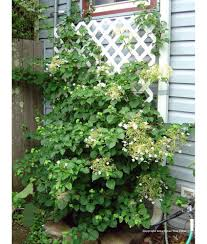 deciduous shrub hydrangea petiolaris trellis urban tree farm
