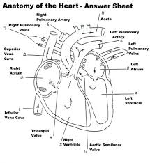 circulatory system coloring page aecost net aecost net