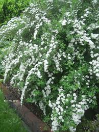 White Flowering Shrubs - meanwhile in my backyard u2026 meanwhile in backyards and white gardens