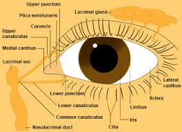 Anatomy Of The Eye Eye From Front Anatomy The Eyes Have It