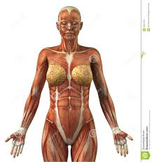 Anatomy Videos Free Download Anatomy Of Female Frontal Muscular System Royalty Free Stock
