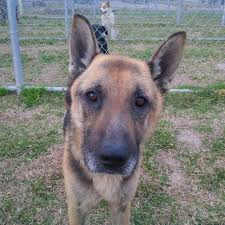 belgian sheepdog houston tx adopt friends of barc