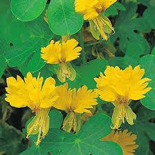 nasturtium seeds thompson u0026 morgan