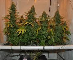 chambre de culture hydroponique guide pour cultiver la marijuana sans materiel les plus