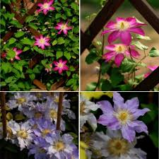 online buy wholesale climbing clematis from china climbing