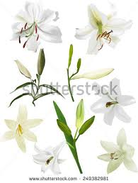 Lilly Flowers Lily Flower Stock Images Royalty Free Images U0026 Vectors Shutterstock