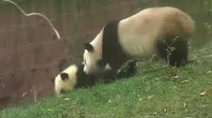 tian tian to give birth to first ever baby panda tomorrow u0027due
