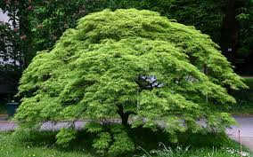 buy viridis japanese maple for sale from wilson bros