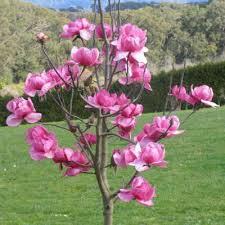 Pink Spring Flowering Shrubs - magnolias