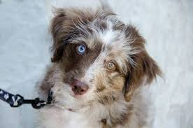 australian shepherd 14 weeks about aussiedoodles u2013 aussiedoodle puppies for sale aussiedoodle