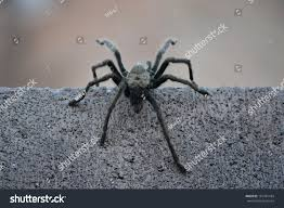 black hairy spider crawling over wall stock photo 162781184