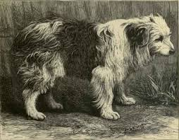 bearded collie mdr1 scotch bob tailed sheepdog natural history