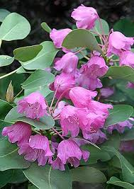 Flowers Information - 135 best rhododendron flower diversity images on pinterest