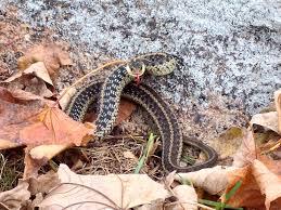 cape ann vernal pond team charming snakes