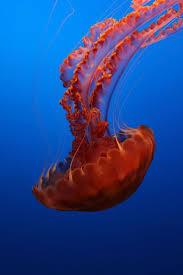 best 25 jellyfish species ideas on pinterest jellyfish jelly