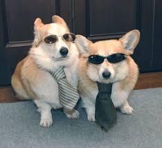 Corgi Lawyer Meme - lovely lawyer dog meme 80 skiparty wallpaper