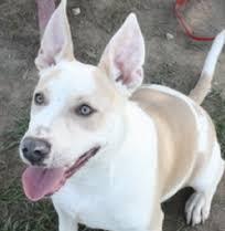 australian shepherd queensland heeler mix pictures 2011 adoptions copper u0027s dream rescue