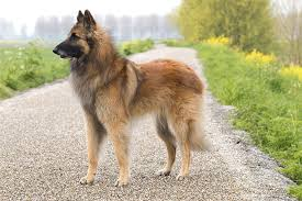 belgian shepherd how much belgian tervuren dog breed information pictures characteristics