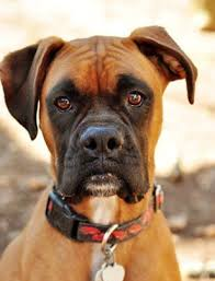 boxer dog origin best 10 american boxer dog ideas on pinterest american boxer