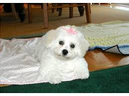 bichon frise dog breeders bichon frise puppies for sale beautiful akc puppies for sale