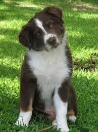 australian shepherd 4 weeks old post up the pet pics the classic 1969 91 chevy k5 blazer social