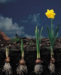 planting spring flowering bulbs mississippi state university
