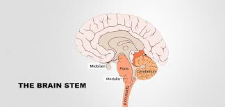 What Is The Main Function Of The Medulla Oblongata Human Brain Structure And Their Functions In Human Body
