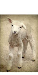 39 best lamb sheep images on pinterest sheep lambs and farm animals