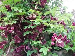 akebia quinata trellis google search vines pinterest trees
