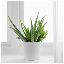 aloe vera houseplant in white pot easy to grow aloe vera