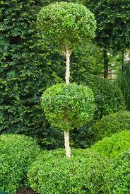 buxus sempervirens 3 tier poodle pom pom plant flower stock