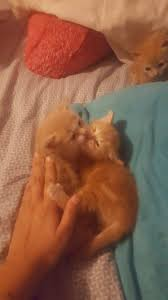 rescued 5 week old feral kittens need help the cat site