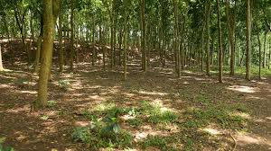 walk through sparse forest hillside thin tree trunks sun