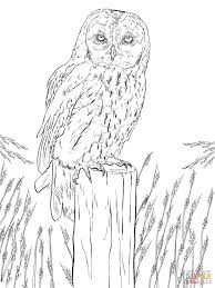 tawny owl coloring page free printable coloring pages