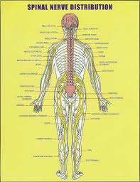 Bicep Innervation The 25 Best Spinal Nerve Ideas On Pinterest Nerves Function