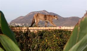 a cougar for christmas mountain lion strolls through a california