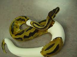 ball python care chicago exotics animal hospital