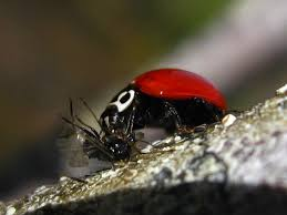 i thought ladybugs ate leaves n stuff natureismetal