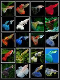 types of aquarium guppy colors aquarium fish u0026 aquariums pinterest guppy