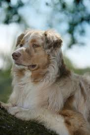 australian shepherd vocal australian shepherd smart working dog red merle australian