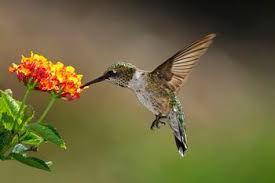 Hummingbird On A Flower - top 10 flowers to attract hummingbirds