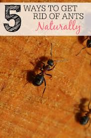 15 ways to get rid of ants in the house naturally ideahacks com