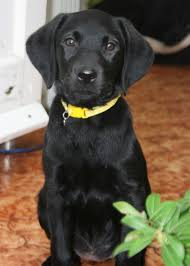 family pet and garden center labrador retriever intelligent and fun loving labs labradors
