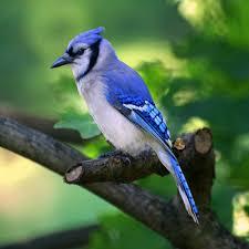 blue jays u201cnature u0027s noisemakers u201d irvingparkgardenclub u0027s blog
