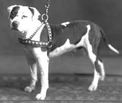 american pitbull terrier types colby pit bull history of a fighting dog bred in 1889