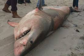 great white shark stranding results in death at spot unique to